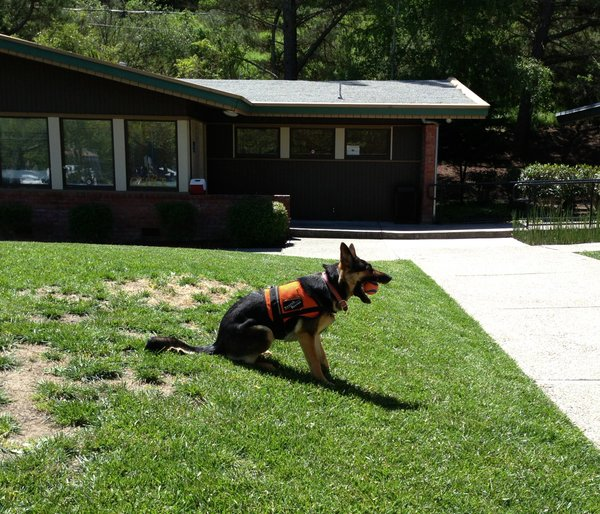 Search & Rescue Dog in training