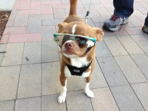 Dog with protective sunglasses.
