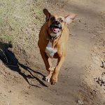 Our rescue dog, Ellie, is a mix of boxer and coonhound